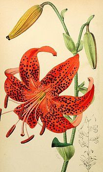 Browse through images in Philip Ralley's Vintage Flowers and Butterflies collection. A collection of vintage illustrations of plants, flowers and butterflies from old botanical books from the Victorian era and earlier. Vintage Botanical Prints, Botanical Drawings, Botanical Flowers, Botanical Art, Lilies Drawing, Drawing Flowers, Illustration Botanique, Lily Painting, Floral Illustrations
