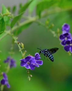 Blue bee in my garden ルリモンハナバチ 庭で見つけました。 京都府では絶滅危惧種に指定されていたのに、庭に来るほどなので増えたのでしょうね。