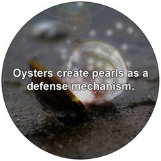Oysters create pearls as a defense mechanism.