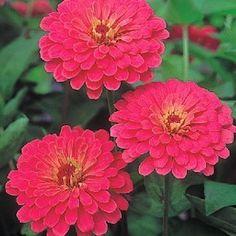 Zinnia Seeds 119 Zinnias Huge Selection Of Annual Flower