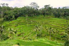 Ricefield - Ubud, Bali
