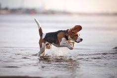 Beagle. By Averianova Anna.
