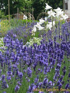 Bienenweide: Echter Lavendel (Lavandula angustifolia) ist nicht nur eine Augenweide sondern auch ein Paradies für Bienen, Hummeln und Schmetterlinge. Samen für Lavendel jetzt bei Magic Garden Seeds entdecken.