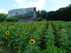 Sunflowers on the JP Parker Flowers Farm. #FlowerPower http://www.jpparkerco.com/our-farm/