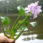 """Afbeelding: Tokozelka """"vodní hyacint"""" - EkozahradnictvíEkozahradnictví"""