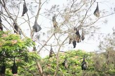 If you visit to Sittwe, the capital city of Rakhine State, don't miss the fruit bat trees in downtown area. During the day, the giant old trees across the street, before the township park, are crowded with hundreds of bats which are fighting and noisy. #Sittwe #FruitBat #RakhineState
