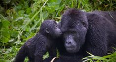 Gorillas   Gorillas - Primates Photo (13164939) - Fanpop fanclubs