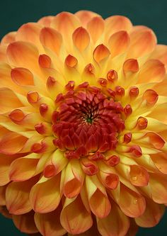 A burst of sunshine opening - Dahlia ~✿•♥•✿~