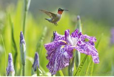 """""""Jason's Iris"""" I was able to photograph a male Ruby-throated Hummingbird while he was visiting this Japanese Iris.  To read the story of the two miracles I previously photographed at this flower visit:  http://seeingthroughgodseyesphotos.blogspot.com/2014/06/jasons-iris.html"""