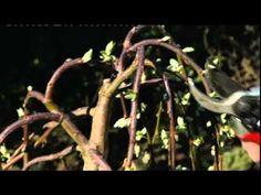 snoeien katjeswilg, na de bloei ( de katjes) in maart de takken flink terug snoeien. (10 cm uit kroon)