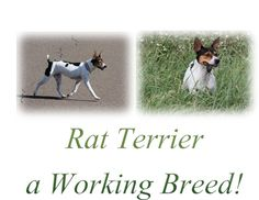 Rat Terriers are driven to hunt!