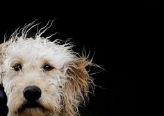 What a face! Einstein the Crazyhaired Dog - 5 X 7 Fine Art Photo Print from Gandolphoto on Etsy