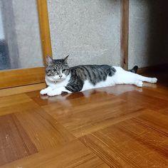 さくらもネズミ🐭さん追いかけて 遊んで 疲れて廊下にベターっと👀  二人の相手してたら こっちも疲れたぁ😵  #愛猫#キジ白#ねこ#ネコ#猫#猫のいる生活#cat#cats#catstagram#mycat#にゃんこ#sakura#きじしろ#キジ白猫#さくら#さくらちゃん