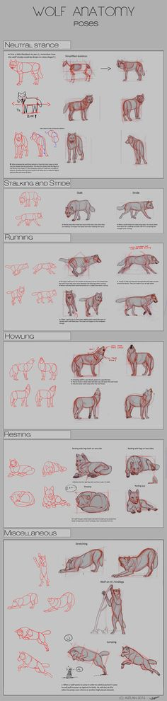 Wolf Anatomy - Part 2 by *Autlaw on deviantART ✤ || CHARACTER DESIGN REFERENCES |
