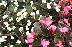 Begonia essence helps bladder function correctly and energy to move up the spine. Feelings of being threatened and insecurity are replaced with emotional freedom. It is especially helpful for hoarders