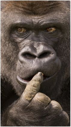 """Lowland Mountain Gorilla ~~ """"Darwin said WHAT?!!! Do you really think gorillas are stupid enough to bring the world to the point of disaster?!! You guys are not MY relatives."""""""