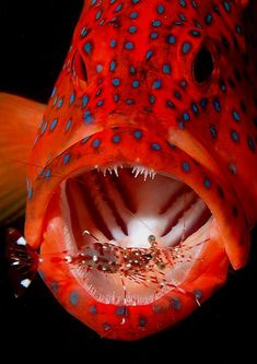 Coral Trout/Grouper with Cleaner Shrimp. Source