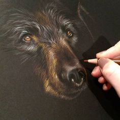 Just started a black bear colour pencil drawing on black strathmore paper. I'm using a mixture of faber castell Polychromos and Caran D'Ache  supracolor soft colourpencils.  Www.sarahstribblingwildlifeart.com  The reference photo is from @wildlifereferenc