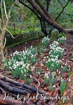 Tips on growing snowdrops from head gardener of Milntown, Juan Quane