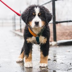 """Wally & """"Doesn't have a name yet."""", Bernese Mountain Dogs (4 y/o & 9 w/o), Central Park, New York, NY • """"She's his mother."""""""