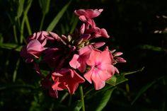 Syysleimu myös, ilta-aurinkoa | Vesan viherpiperryskuvat – puutarha kukkii