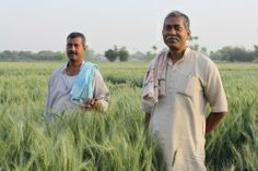 """""""What if the agricultural revolution has already happened and we didn't realize it? Essentially, that's the idea in this report from the Guardian about a group of poverty-stricken Indian rice and potato farmers who harvested confirmed world-record yields of rice and potatoes. Best of all: They did it completely sans-GMOs or even chemicals of any kind."""""""