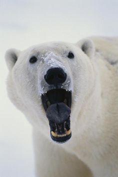 Polar Bear With Open Mouth Cape | Takayuki Maekawa   Beautiful!!! O/