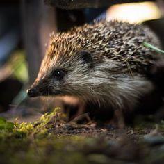 Photo Hedgehog by Leszek Dudzik on 500px