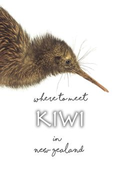 Where to see kiwi in New Zealand? Our review of the best place to meet kiwi!