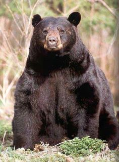 The Best Shot Placement for Black Bear | Hunting Tips | Pinterest ...