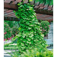 tropica winterharter pfauenstrauch caesalpinia gillesii. Black Bedroom Furniture Sets. Home Design Ideas