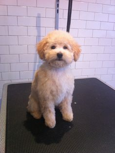 Teddy,  3 month old poodle puppy, first haircut, 0 comb over 30 blade, scissor face.