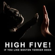 Do you like Boston Terrier dogs? It's now time for a high five to all people who likes Boston Terrier dogs! Don't forget to like (if you are not already liking) and follow Boston Terrier Dogs on Facebook : https://www.facebook.com/bterrierdogs