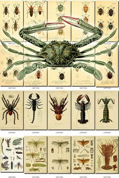 INSECTS-15-b3 Collection of 291 vintage illustrations Crab
