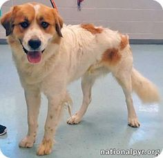 03/05/16 SL~~~Pictures of Burt a Great Pyrenees/St. Bernard Mix for adoption in Beacon, NY who needs a loving home. Burt is a 77lb. energetic lovebug who loves crawling into your lap. He would do best in a home with another dog to play with. He was even frolicking with other dogs the day he got neutered.