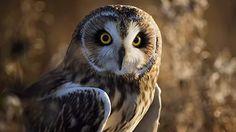 Bird, Predator, Owl, Nature wallpaper 1920x1080 Desktop wallpaper for apple...