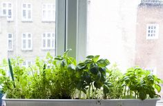 mini herb garden along the windowsill - Modern Small Fireplace, Rental Decorating, Herbs Indoors, Love Garden, Window Sill, Kraut, Garden Inspiration, Interior Inspiration, Design Inspiration