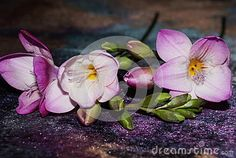 Pink freesia on a gradient purple  background