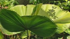drought tolerant tropical looking plants | Sophie looks at a range of tropical looking plants perfectly suited to ...