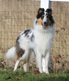Harlequin rough collie