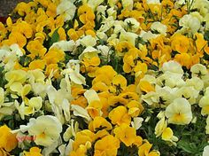 Yellow and orange pansies