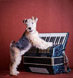 Арти - I'm looking my mom and dad ! Wire Fox Terrier Puppies, Chien Fox Terrier, Welsh Terrier, Airedale Terrier, Animals And Pets, Baby Animals, Wire Haired Terrier, Smooth Fox Terriers, Lakeland Terrier
