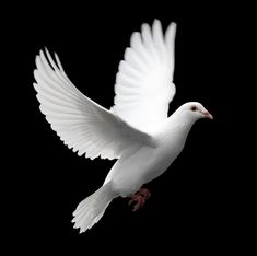 White ring neck doves can barely fly more than a mile but white homing pigeons can find their way home from distances of more than 500 miles. The birds are used to relay messages in war, and are also released during weddings and funerals.