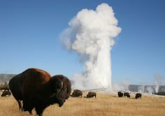 "Yellowstone National Park, Wyoming.  Our first major adventure in Yellowstone was a bison in the parking lot of Old Faithful. We had to stand still be ready to duck into the restrooms until it cleared out.  Our 8 year old daughter thought the bison and geyser were ""awesome!"""