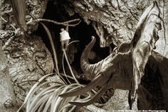 The place where the man, who parachuted himself in an ancient tree, ended. (see link)