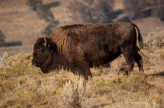 State Mammal: Bison