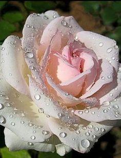 Rosa hermosa llena de Rocío