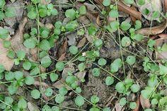 Legazpia polygonoides (Benth.)...