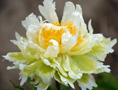 Klehm's Song Sparrow Farm and Nursery--Peonies/Paeonia--'Green Halo'