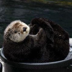 Photo by montereybayaquarium Gidget the sea otter!